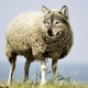 Wolf in sheeps clothing!
